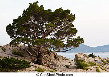 Pine Tree on the Rocky Beach in Brela, Croatia