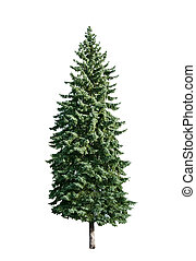 pine tree is isolated on a white background