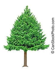 Pine tree - Single fresh pine tree isolated on white