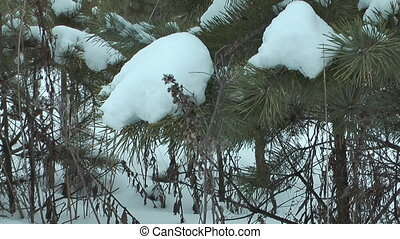 Pine tree. - Pine branch covered with snow.