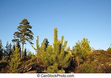 Pine tree plants