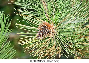 pine-tree, ramo