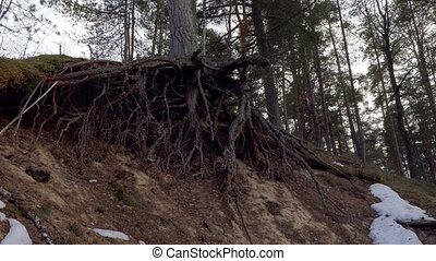 pine tree roots in the forest.