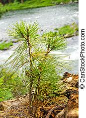 Pine Tree Sapling