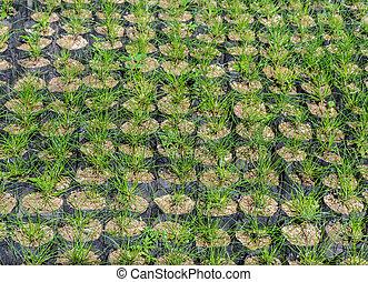 Pine tree seedlings - Pine tree nursery for reforestation