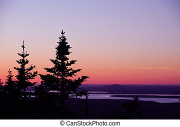 pine tree silhouette against twilig