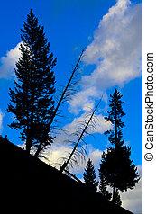 Pine Tree Silhouette Yellowstone National Park