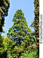 pine tree - beautiful pine tree in summer