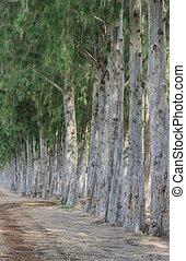 Pine tree - Row of pine tree