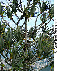 Pine tree - Pine tree on top of Corcovado, overlooking Rio...