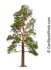 pine tree - old pine tree isolated on white