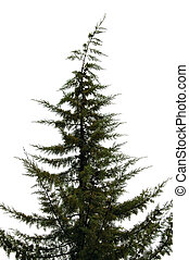 pine tree - Pine tree silhouette isolated on white...