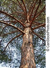 Pine tree - Needle leaf pine tree detail