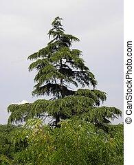 Pine tree - pine tree