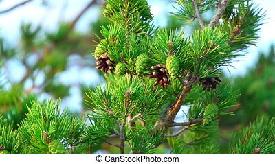 Pine tree - Pine cones on a tree branch