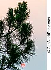 Pine Tree Sunrise Silhouette