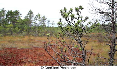 Pine tree swaying to the wind on bog swamp