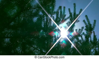 Pine-tree. - The sun shines through the branches of pine.