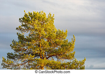 Pine tree top against cloudy sky