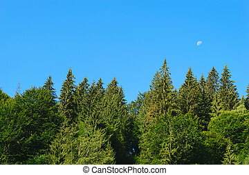 pine tree tops with clear blue sky and moon background