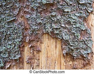 Pine tree trunk texture