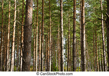 Pine tree trunks as background