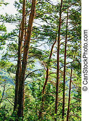 pine tree trunks forest detail