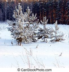 Pine-tree under snow