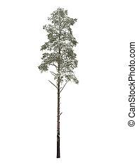 pine-tree, weißes, bloß, aus, freigestellt