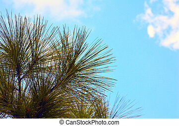 Pine tree with blue sky background