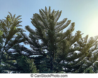 Pine tree with blue sky in the garden