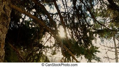 Pine tree with branches moving view
