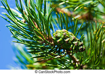 Pine tree with green cone.
