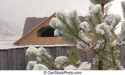 Pine tree with melting snow on a wooden house background.