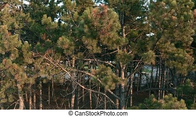 Pine treees in warm light of sunset, panning from right to ...