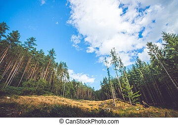 Pine trees at a dry meadow