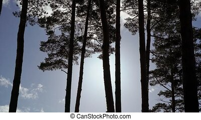 Pine trees at autumn or summer at sunset steadicam shot in...
