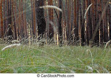 pine trees at morning