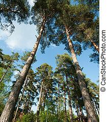 pine trees bottom view