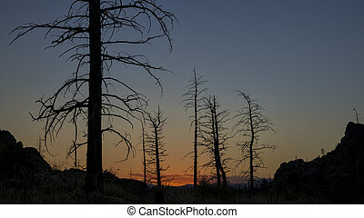 Pine trees burned by wildfire - Pine trees burned by 2012 ...