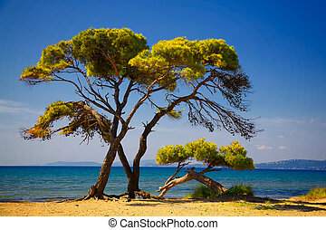 Pine trees by the beach