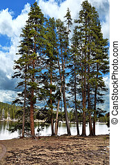 Pine Trees By The Lake