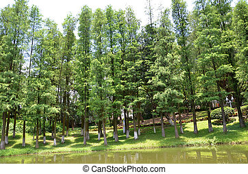 Pine trees by the lake side