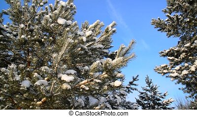 Pine trees covered with snow against blue sky