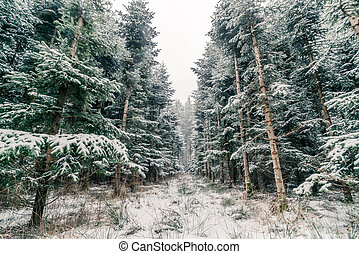 Pine trees covered with snow in a forest
