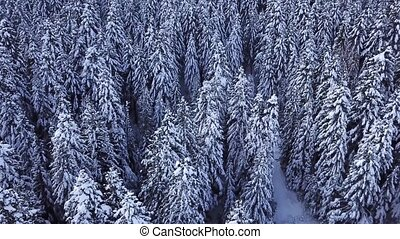 Pine trees covered with snow with a copter. View from above. Aerial view