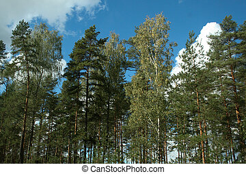 Pine trees forest tops on blue sky with white big cumulus clouds