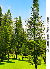 Detail of pine trees forest in summer time