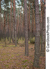 pine trees growing in a forest