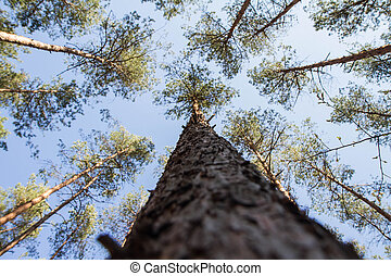 Pine trees in a forest seen upwards